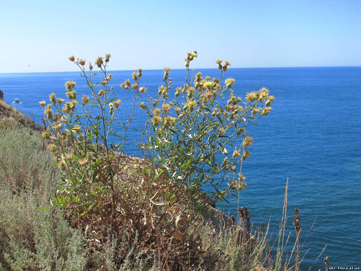 Загальний вигляд квітучої рослини