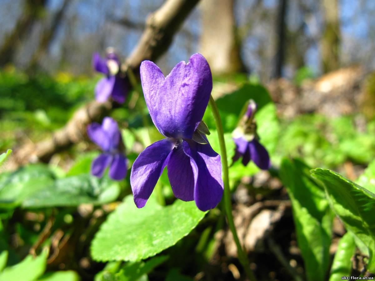 Violaceae – Фіалкові - Відділ КВІТКОВІ - Magnoliophyta ...
